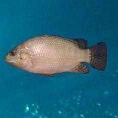 White Nile Tilapia (Oreochromis niloticus)