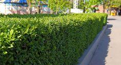 Een laurierhaag is jaarrond groen, heeft mooi glanzend blad, bloeit in het voorjaar en geeft besjes in het najaar.