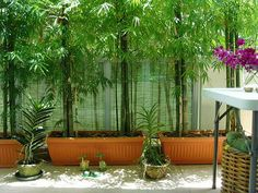 Bamboo plants for privacy....