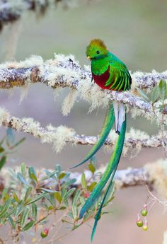 the famous long-tailed Quetzal of Central America, which is the national bird and the name of the currency of Guatemala