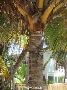 Lézard tropical sur un palmier de Caye Caulker, Belize