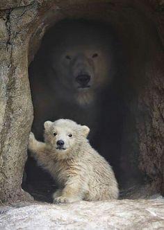 Powerful background The polar ice Bear. Cute Baby Animals, Animals And Pets, Baby Pandas, Baby Hippo, Baby Otters, Baby Cows, Wild Animals, Polar Bear Facts, Polar Bears