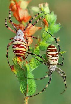 Argiope trifasciata (Banded Garden Spider)