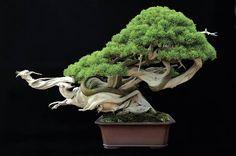 "Tooryuu-no-mai ""The dancing dragon"". Juniper bonsai by Masahiko Kimura Sensei"