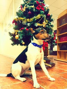 Meet Jack! Boston Terrier, Charity, Adoption, Christmas Tree, Meet, Holiday Decor, Dogs, Animals, Foster Care Adoption