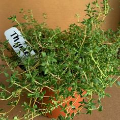 OnlinePlantCenter 5.5 in. English Thyme Culinary Herb Plant-H35075.5IN - The Home Depot Home Depot, Bay Leaf Tree, Evergreen Herbs, Cilantro Plant, Thyme Plant, Sage Herb, Herb Garden Kit, Garden Insects, Herbal Plants