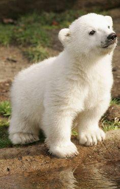 Resultado de imagem para knut baby polar bear