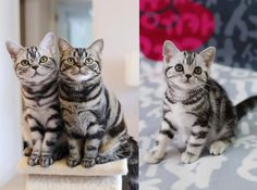 American Shorthair Cat Breeds American Shorthair Origins The American shorthair's history dates back around 300 years. The roots of this cat breed began in England as a common domestic cat. The shorthair is known for its ability Cat Breeds List, Types Of Cats Breeds, All Cat Breeds, Popular Cat Breeds, Quiet Cat, American Wirehair, Found Cat, American Shorthair Cat, Outdoor Cats