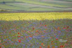 Umbria. Val grande. Castelluccio. Fioritura delle lenticchie. Foto Massimo Lazzari srls - S.Martino Siccomario PV