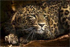 Edith Albuschat - Leopard auf der Lauer