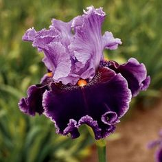 Iris germanica 'About Town' in Fall 2012 from Wayside Gardens on shop.CatalogSpree.com, my personal digital mall.