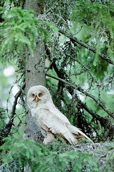 leucistic great grey owl  \