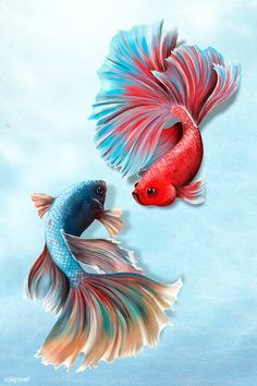 Colorful betta fishes on a sky blue background  | premium image by rawpixel.com / Te Dark Backgrounds, Wallpaper Backgrounds, Betta Fish Tattoo, Aggressive Animals, Cute Animal Drawings Kawaii, Fish Wallpaper, Fish Drawings, Sky Art, Beautiful Fish