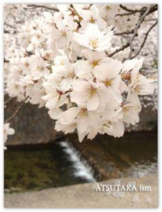 Graciousness of cherry blossoms