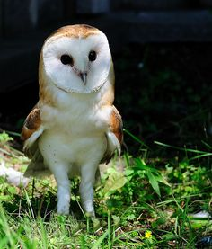 fairy-wren: barn owl (photo by elgalopino) Beautiful Owl, Animals Beautiful, Cute Animals, Owl Photos, Owl Pictures, Owl Pics, Baby Barn Owl, Barn Owls, Owl Always Love You