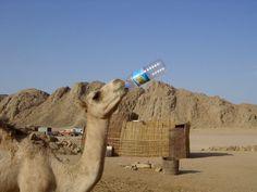 Camel drinking a bottle of water