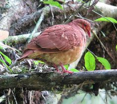 ruddy quail-dove (Columbidae: Geotrygon montana), West Indies, Central and tropical South Ameria