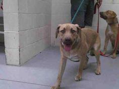 04/12/17-RALPHIE  Dog • German Shepherd Dog & Labrador Retriever Mix • Young • Male • Large  Montgomery County Animal Shelter Conroe, TX