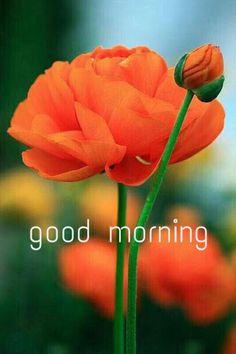 Orange ranunculus I love orange flowers. Colorful Roses, Orange Flowers, Orange Poppy, Exotic Flowers, Pale Orange, Red Poppies, Yellow Roses, Floral Flowers, Fresh Flowers