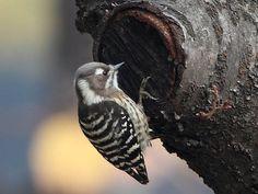 Japanese Pygmy Woodpecker Dendrocopos kizuki - Google Search