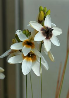 ixia versicolor | Flickr - Photo Sharing!