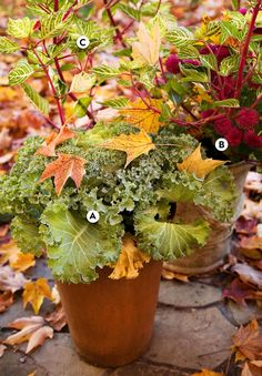 A simple gathering of cold-resistant ruffled green kale (Brassica oleracea), striking magenta chrysanthemum, and variegated Iresine herbstii 'Aureoreticulata' evokes an autumnal vibe in earthy containers. #fallcontainergarden #containergardenplans #fallgardening #flowerpots #bhg Fall Container Plants, Fall Containers, Container Gardening Vegetables, Succulents In Containers, Container Flowers, Vegetable Gardening, Flowering Kale, Ornamental Cabbage, Gardens
