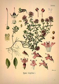 Wild thyme - botanical plant illustration - Royalty free from plantcurator.com