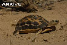 Spider tortoise walking across sand