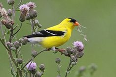 The American Goldfinch, also known as the Eastern Goldfinch and Wild Canary, is a small North American bird in the finch family