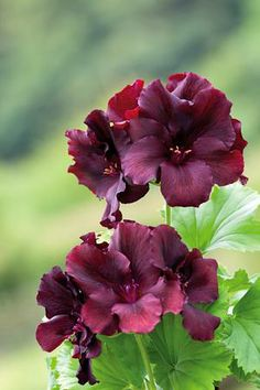 Pelargonium 'Dark Secret'