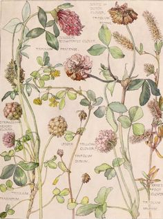 Wild Flowers of the British Isles • H. Isabel Adams • 1907