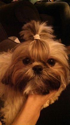 30 Trendy ideas dogs and puppies shih tzu heart Perro Shih Tzu, Maltese Shih Tzu, Shih Tzu Puppy, Shih Tzus, Shitzu Puppies, Dogs And Puppies, Yorkies, Puppys, Black Shih Tzu