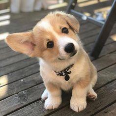 This corgi puppy is just too much! Talk about cuteness overload! Puppy This corgi puppy is just too much! Talk about cuteness overload!This corgi puppy is just too much! Talk about cuteness overload! Welsh Corgi Pembroke, Cute Corgi Puppy, Corgi Dog, Baby Corgi, Puppy Husky, Pug Beagle, Labrador Puppies, Cute Baby Dogs, Cute Dogs And Puppies