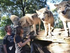 Be Part of the Pack at Florida's Seacrest Wolf Preserve - TripsToDiscover.com