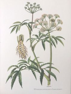 Beautiful vintage botanical poster. 1950s. http://magiamuse.thebase.in