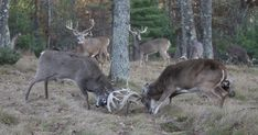 Apple Creek Whitetails Photo          I want to share with you a little known secret on attracting Big Bucks.     HERE IT IS:    If you r...