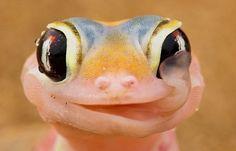 Amazing gekko drinking water from his own eyes!