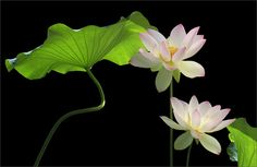 Two Lotus Flowers and leaves on black
