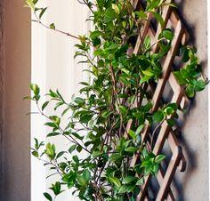 Närbild på ASKHOLMEN spaljé med grön klätterväxt