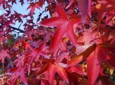 Liquidambar acalycina / Chinesischer Amberbaum - schönes Laubgehölz mit einer tollen Herbstfärbung in Organgerot bzw. sogar teil. Dunkelrot.