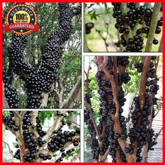 50 Brazilian Grape Tree Seeds (Jabuticaba) - Grows Fruits On Its Trunk - RARE #BrazilianGrapeTree