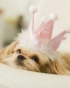 Shih Tzu Princess- Lola the showgirl! Love My Dog, Puppy Love, Cute Puppies, Cute Dogs, Dogs And Puppies, Perro Shih Tzu, Princess Puppies, Baby Animals, Cute Animals