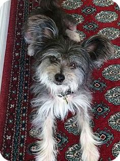 Bellflower, CA - Chinese Crested. Meet Felix, a dog for adoption. http://www.adoptapet.com/pet/11506138-bellflower-california-chinese-crested