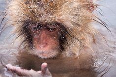 Personal Monkey Logo by Timmy Chau on Dribbbleboard Jigokudani Monkey Park, Japanese Macaque, Funny Animals, Cute Animals, Snow Monkey, Baboon, Chimpanzee, Creature Feature, Just Amazing