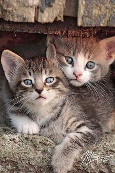 "kittens Good buddies. ❁❁❁Thanks, Pinterest Pinners, for stopping by, viewing, re-pinning, & following my boards.  Have a beautiful day! ❁❁❁ **<>**✮✮""Feel free to share on Pinterest""✮✮"" #animals #gifts www.catsandme.com"