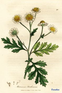 """Feverfew. From Ed Smith's personal library: Stephenson & Churchill, """"Medical Botany"""": 1834-1836."""