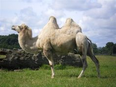 Camel Photo:  This Photo was uploaded by pumpkinette_2007. Find other Camel pictures and photos or upload your own with Photobucket free image and video ...