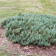 Juniperus sabina 'Blue Forest' (Savin juniper) - Fine Gardening Plant Guide