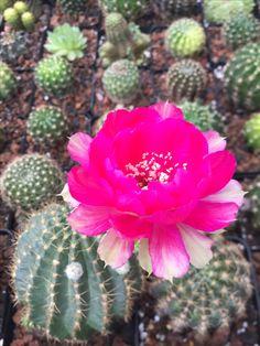 #lobivia #cactus #cacti #cactii #cactilove #succulove #succulent #succulents #xuongrong #senda #saigon #erialshop #plant #flower #pink