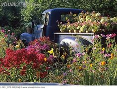 old rusty Chevy pick up painted bright blue filled and surrounded by flowers